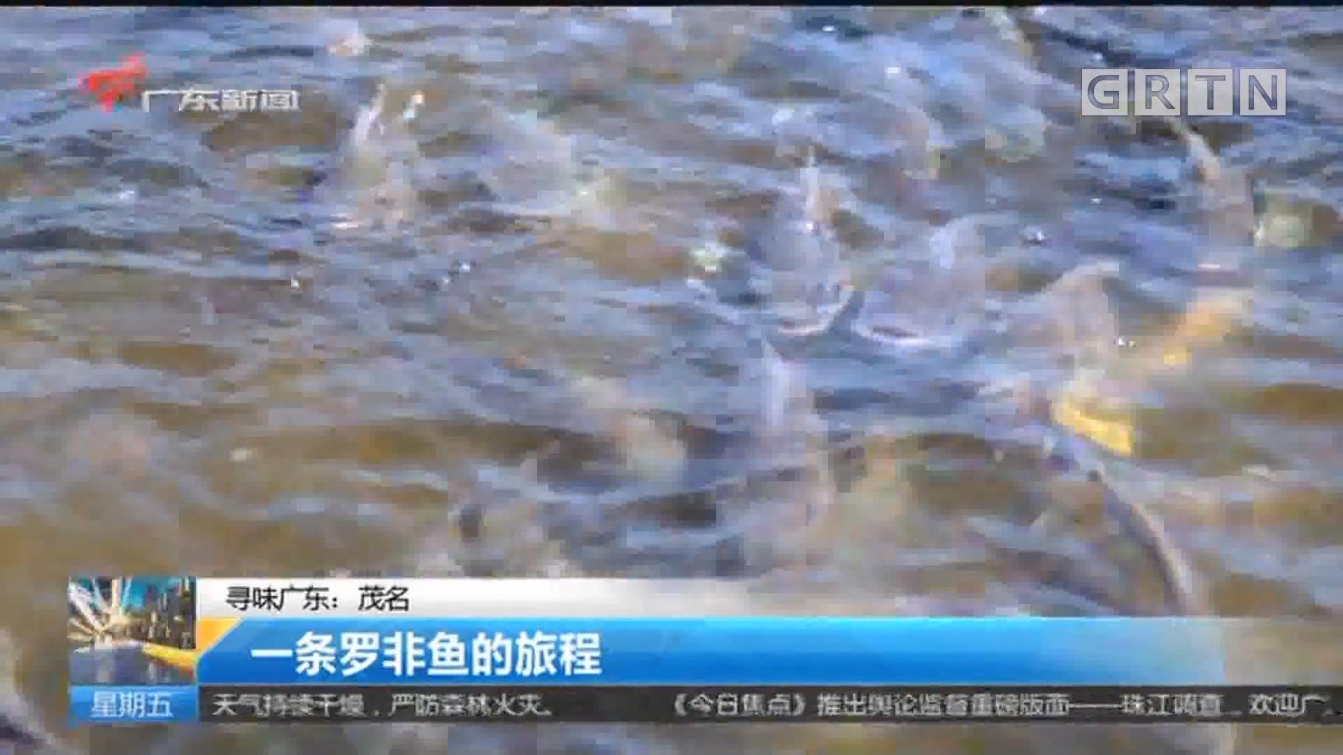 寻味广东:茂名 一条罗非鱼的旅程
