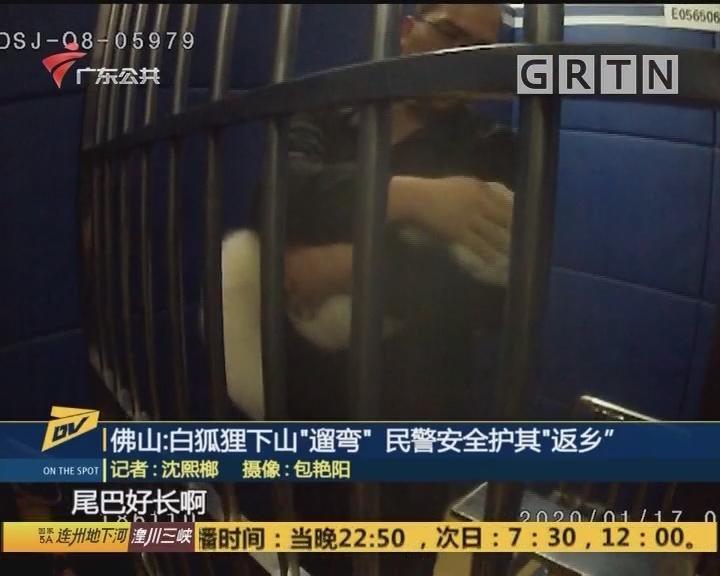 "(DV现场)佛山:白狐狸下山""遛弯"" 民警安全护其""返乡"""