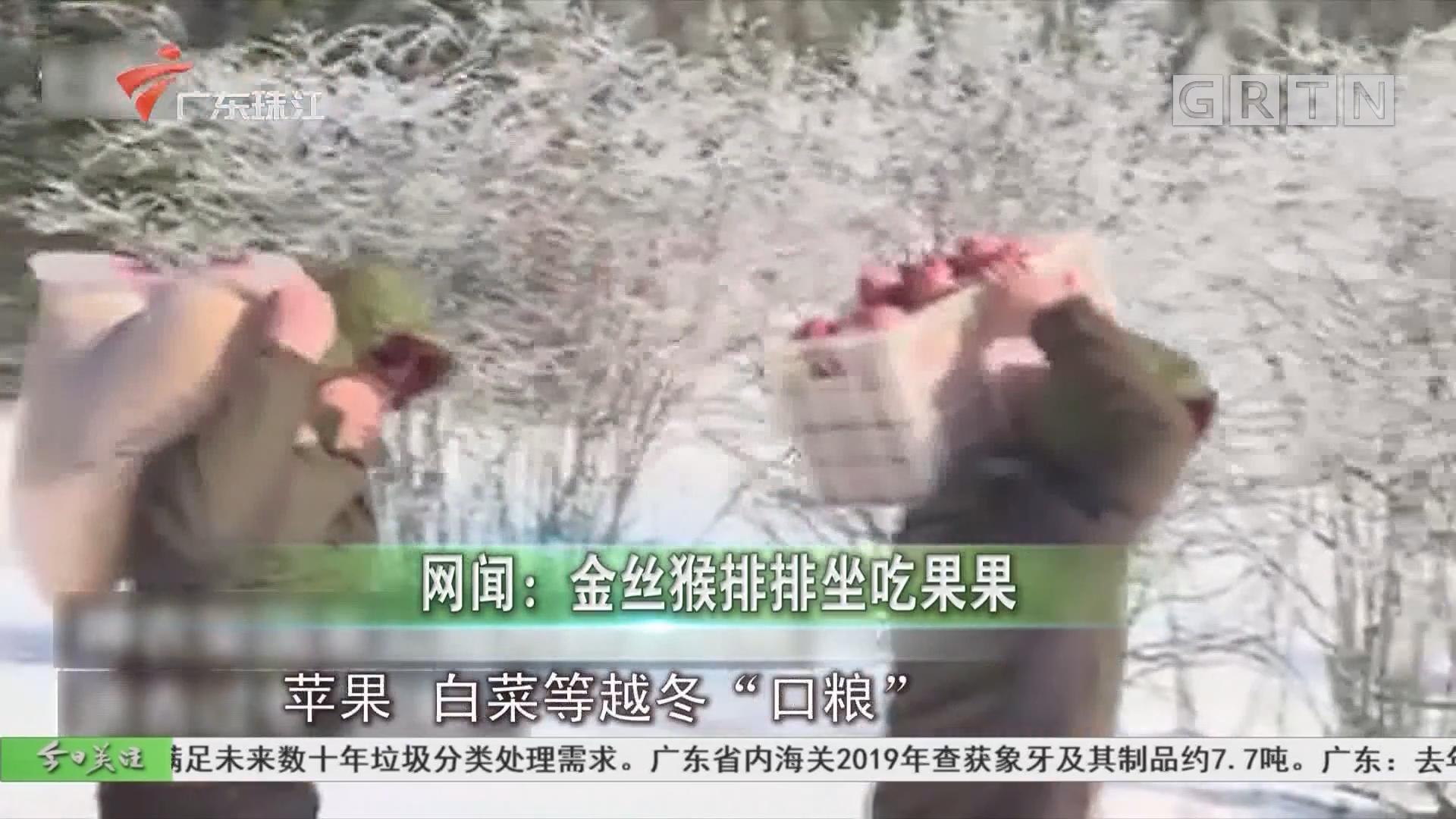 网闻:金丝猴排排坐吃果果