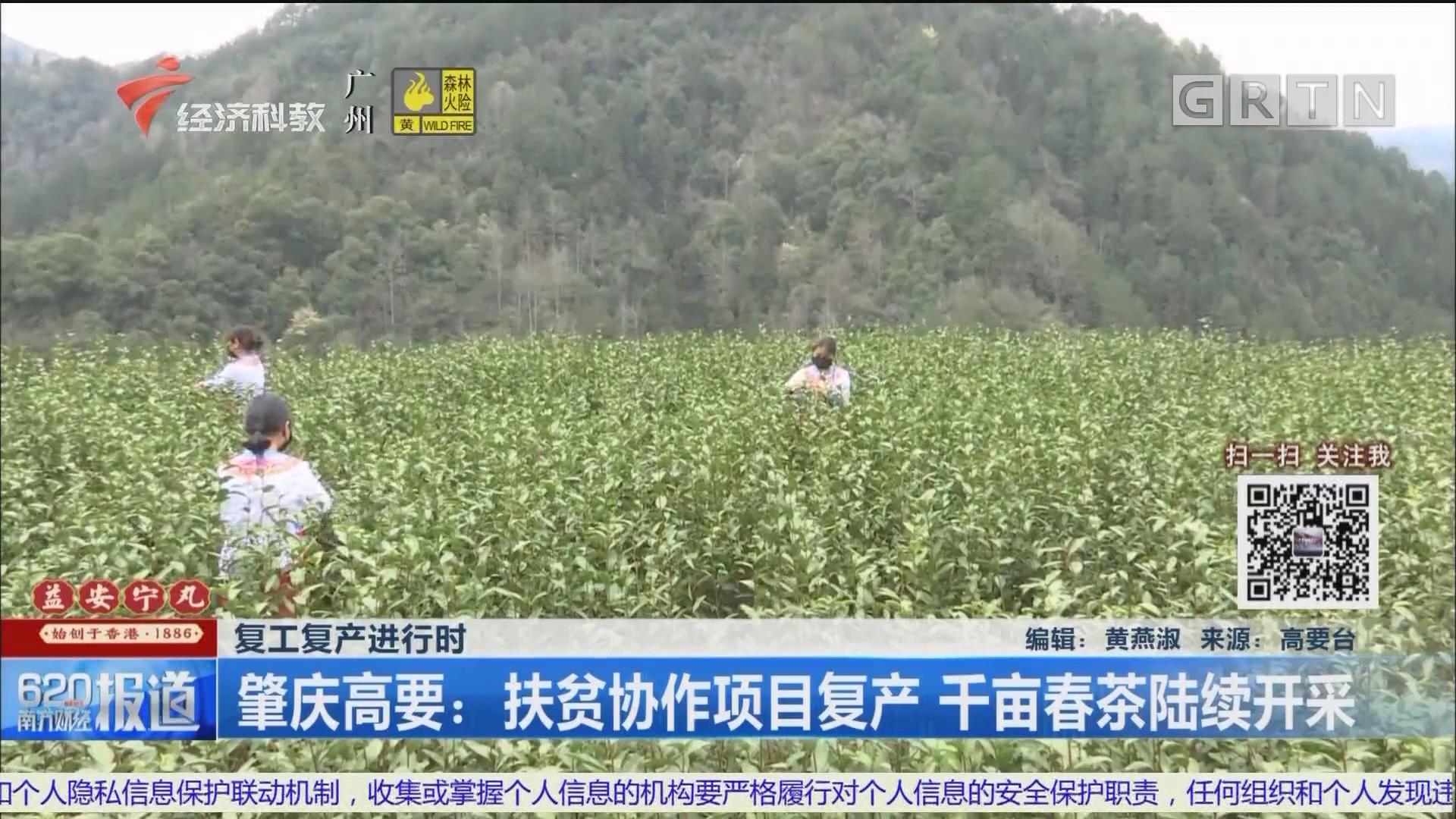 復工復產進行時 肇慶高要:扶貧協作項目復產 千畝春茶陸續開采