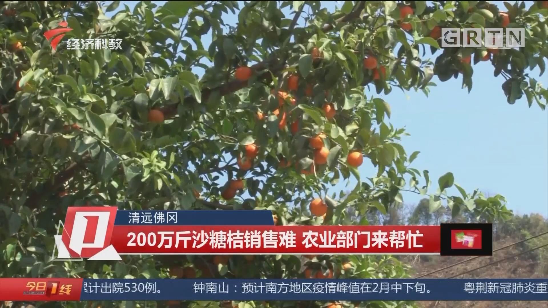 清远佛冈:200万斤沙糖桔销售难 农业部门来帮忙