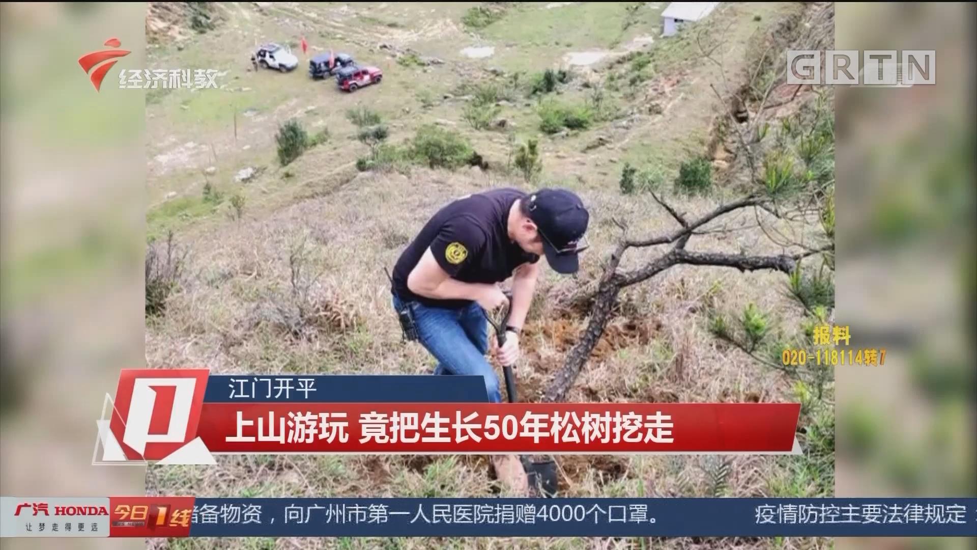 江门开平:上山游玩 竟把生长50年松树挖走
