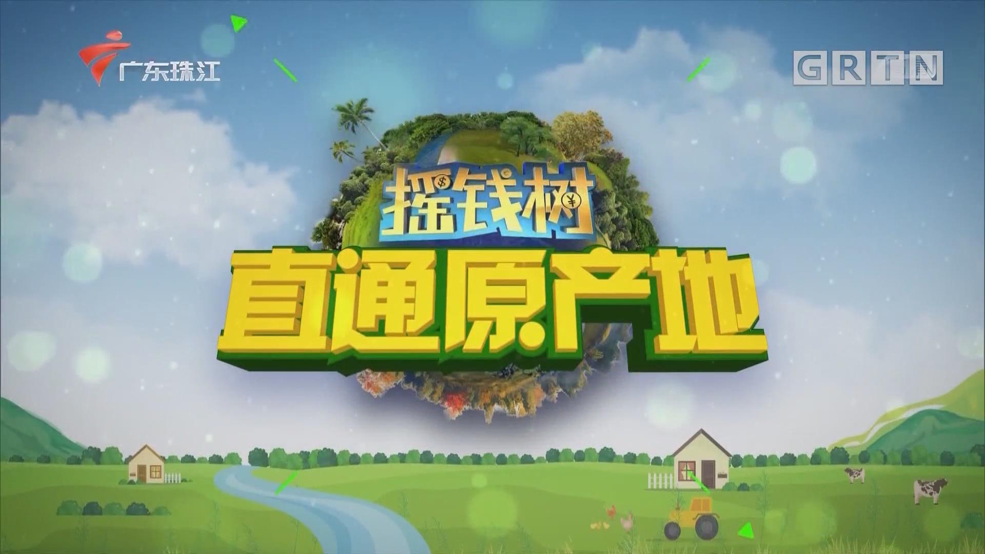 """[HD][2020-03-16]摇钱树:探访""""萝卜王国""""广东陆丰"""