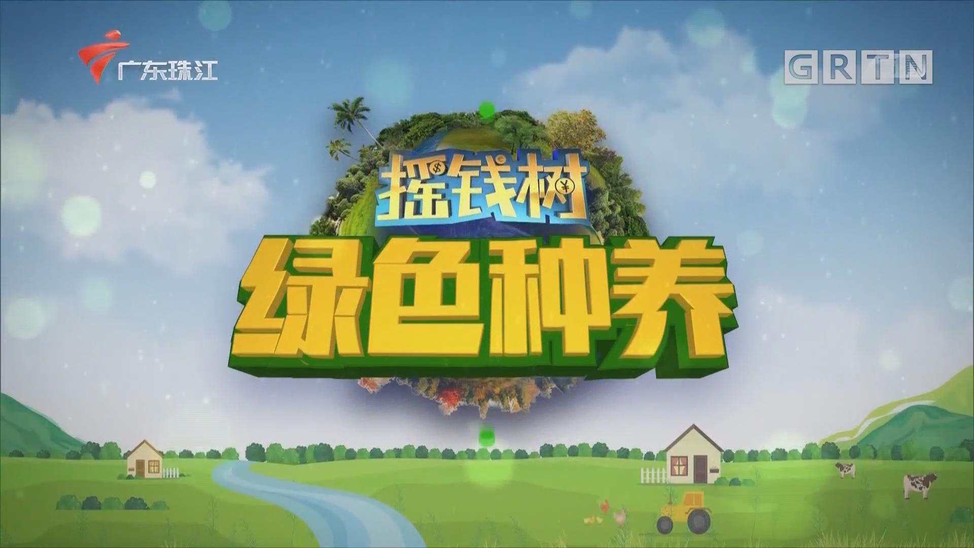 [HD][2020-03-13]摇钱树:抓住时节 种好百香果