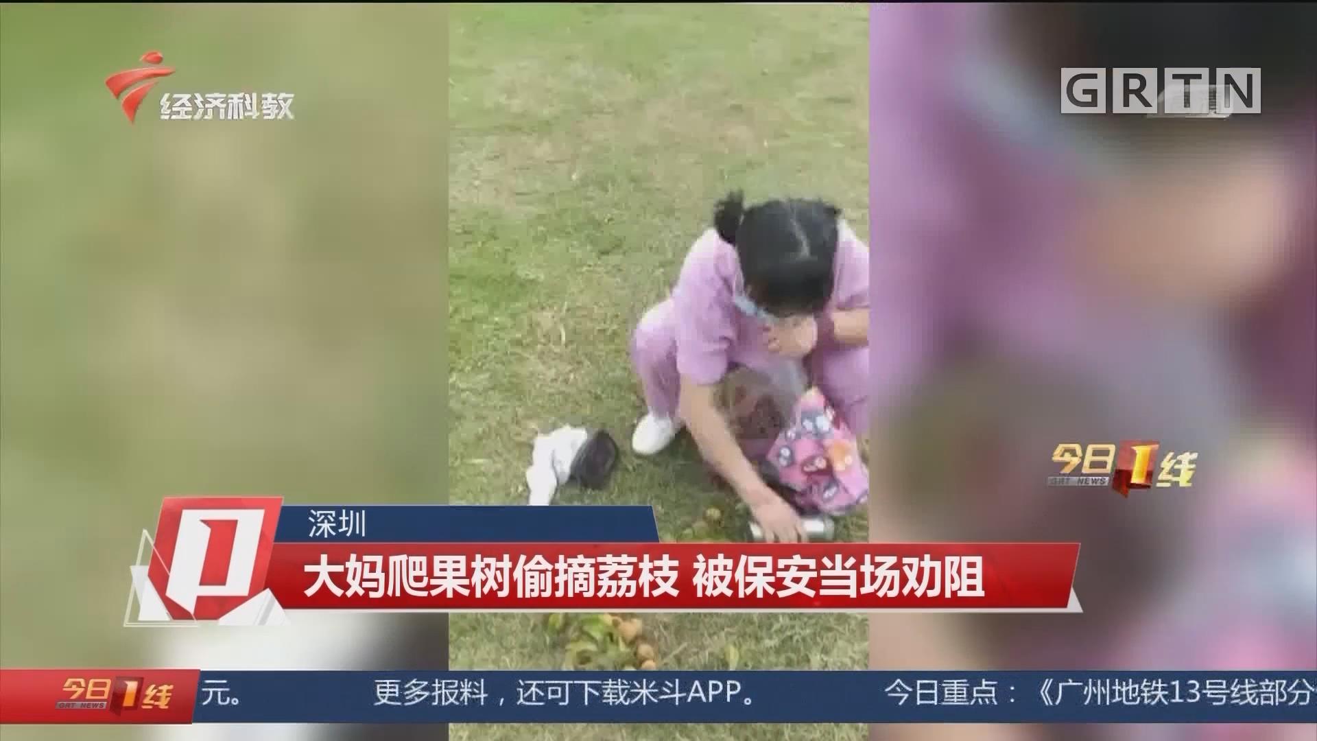 深圳 大媽爬果樹偷摘荔枝 被保安當場勸阻