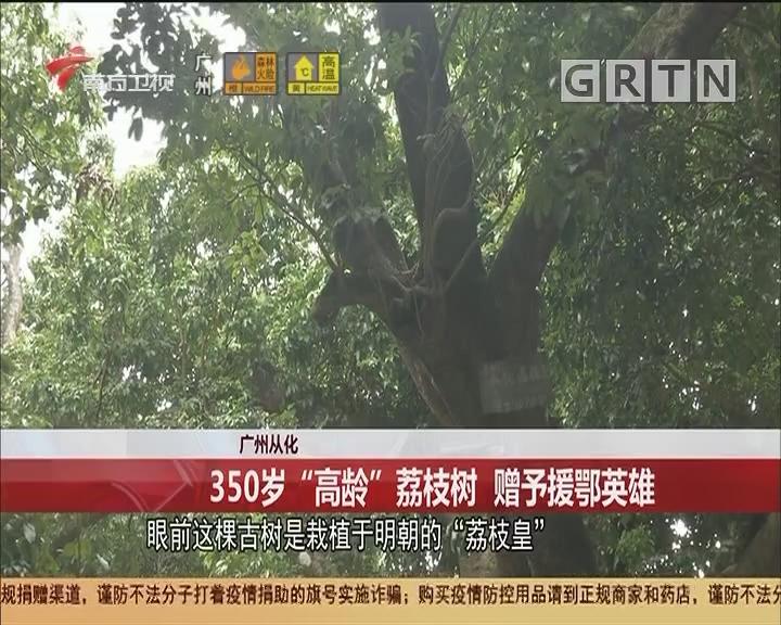 """廣州從化 350歲""""高齡""""荔枝樹 贈予援鄂英雄"""