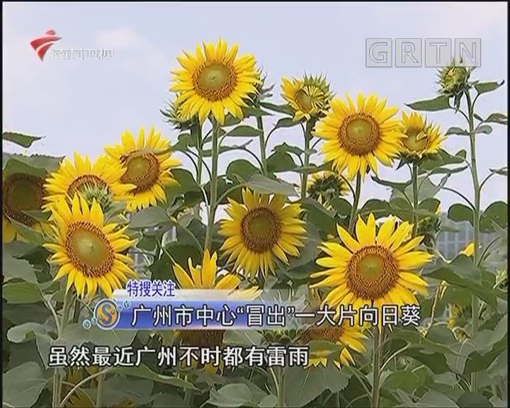 """廣州市中心""""冒出""""一大片向日葵"""