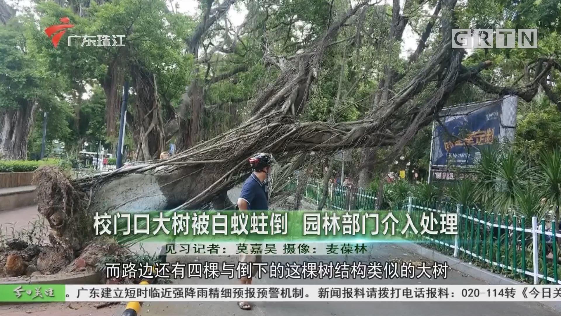 校门口大树被白蚁蛀倒 园林部门介入处理