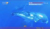 斯里兰卡——亭可马里 蓝鲸