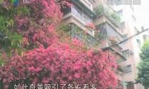 9层楼高的粉红花瀑布引市民惊叹