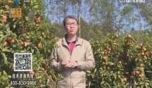 [2018-01-29]摇钱树:年桔成熟 黄金满树