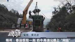 """梅州:春运惊险一刻 奶牛高速公路上""""闲逛"""""""