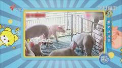 解码「猪周期」·二重奏