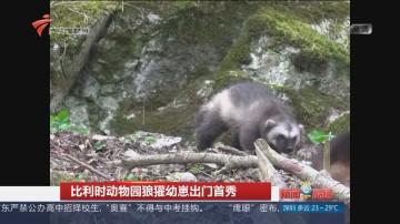 比利时动物园狼獾幼崽出门首秀