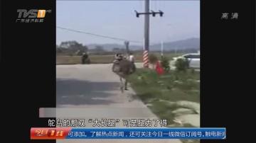 """汕尾海丰:村道""""大鸟""""狂奔 受捧成""""网红"""""""