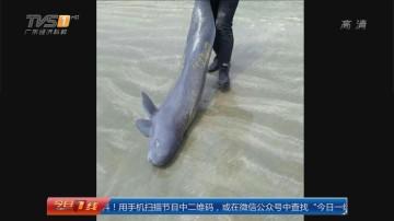 """汕尾海丰:疑似""""江豚""""的大鱼搁浅沙滩"""