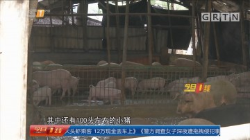 """一线调查:广州黄埔""""非法养猪场"""":清拆非法养猪场后 还有""""漏网之鱼""""?"""