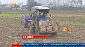 汕尾海丰县:寒潮来袭千亩菜田遭殃 农户抢收忙