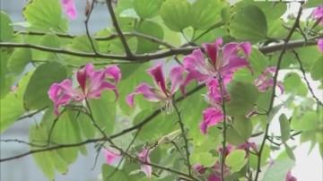 紫荆花雨降临惊艳全广州