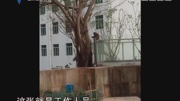 """深圳:猴子闯进小区""""称霸"""" 被动物救护人员制服"""