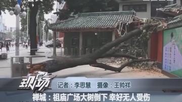 禅城:祖庙广场大树倒下 幸好无人受伤