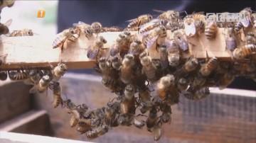"""东莞厚街:罕见!上万蜜蜂""""群殴"""" 蜂农损失惨重"""