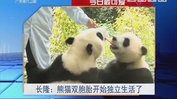 今日最可爱 长隆:熊猫双胞胎开始独立生活了
