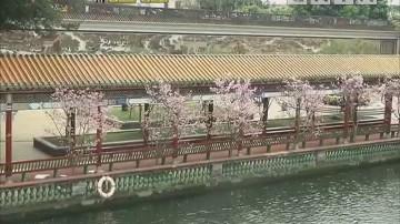樱花邂逅古园林 美翻了!