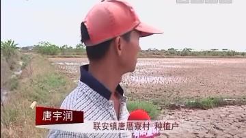 汕尾:联安唐厝寮村:天气干旱 部分水稻干枯
