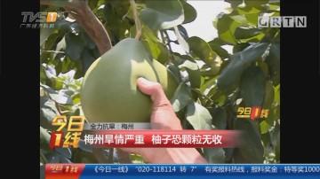 全力抗旱:梅州 梅州旱情严重 柚子恐颗粒无收