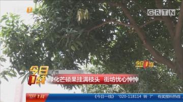 广州:绿化芒硕果挂满枝头 街坊忧心忡忡
