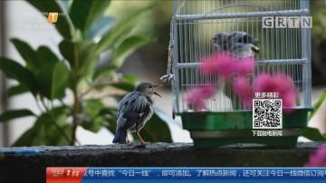 东莞莞城:雏鸟受伤被暂养 鸟爸鸟妈循声觅子