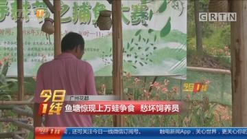 广州花都:鱼塘惊现上万蛙争食 愁坏饲养员
