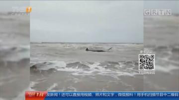 湛江雷州:鲸鱼搁浅海滩 村民合力徒手救援