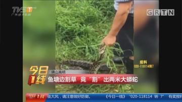 """佛山高明:鱼塘边割草 竟""""割""""出两米大蟒蛇"""