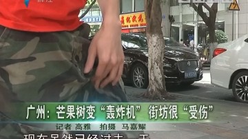"""广州:芒果树变""""轰炸机""""街坊很""""受伤"""""""