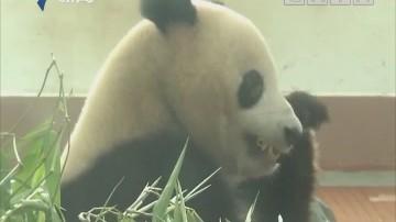 熊猫成年礼