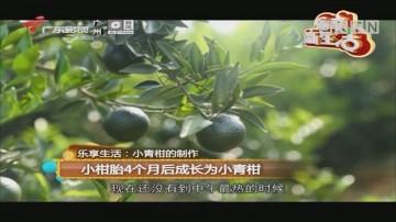乐享生活:小青柑的制作 小柑胎4个月后成长为小青柑