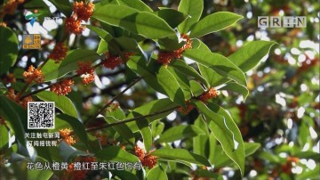 [2018-10-29]摇钱树:金秋十月 桂花飘香