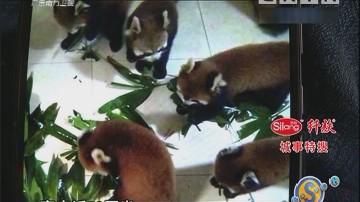 """饲养宠物""""变身""""小熊猫"""