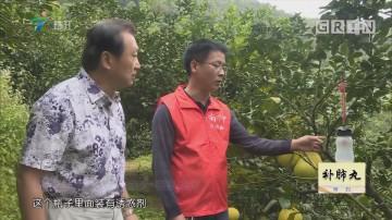 [2018-12-03]摇钱树:清新优品 南冲沙田柚