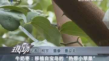 """牛奶枣:移植自宝岛的""""热带小苹果"""""""