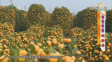 [HD][2019-01-28]摇钱树:年花年桔迎新春