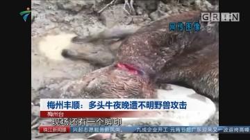 梅州丰顺:多头牛夜晚遭不明野兽攻击