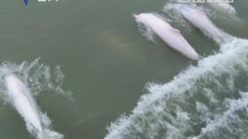 超可爱!白海豚成群嬉戏中山海域