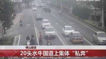 """佛山顺德:20头水牛国道上集体""""私奔"""""""
