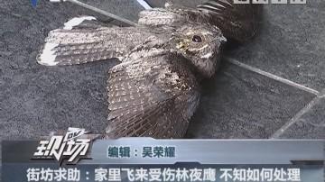 街坊求助:家里飞来受伤林夜鹰 不知如何处理