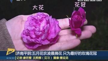 济南平阴:五月花农凌晨摘花 只为最好的玫瑰花冠