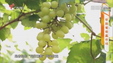 [HD][2020-06-11]摇钱树:早熟葡萄赢市场
