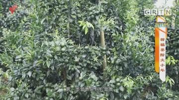 [HD][2020-12-16]摇钱树:柑橘要防大小年